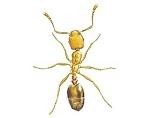 Pharaohs Ants