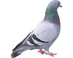 Pigeons & Gulls